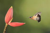 Purple-throated mountain gem hummingbird by Gregory Basco