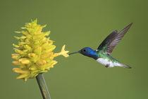White-necked jacobin hummingbird von Gregory Basco