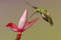 Gbasco-artflakes-hummingbird-50