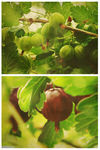 Summer-gooseberries-c-sybillesterk
