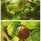 Summer-gooseberries-c-sybillesterk