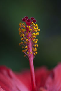 Hibiscus by pahit