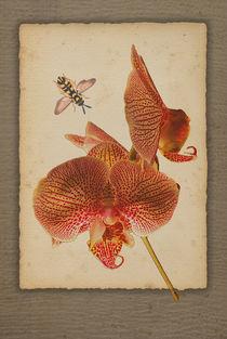 Phalaenopsis Orchidee by pahit