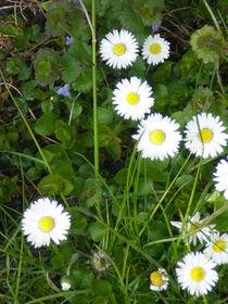 Gänseblümechen von Henriette Abt