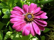 Blume, Margerite von Henriette Abt