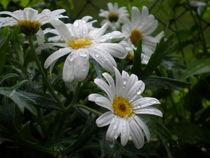weiße Margeriten von Henriette Abt