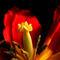 Tulpenstempelintensity