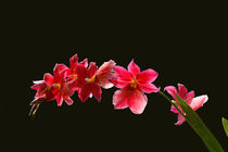 Cambria Orchidee by pahit