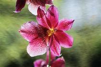 Orchideenblüte Cambria von pahit