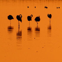 flamingos by james smit
