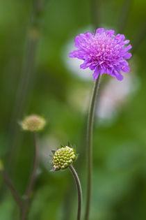 Witwenblume by stelda