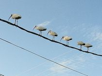 Birds On A Wire by Richard Velazquez