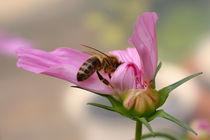 Cosmea mit Biene von blickpunkte