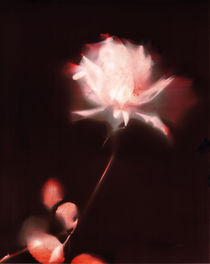 Lumen print: The rose by Silvino González Morales