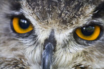 Eagle-owl-close-face-maf2011