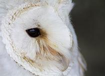 Snowy-owl-maf2011