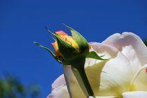 White rose by Yoana van Essen