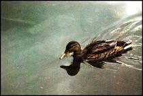 Wild duck by Daniela Grigoret