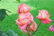 Roses by Daniela Grigoret