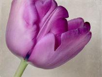Tulpenportrait von Franziska Rullert