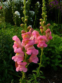 Snapdragon-pair