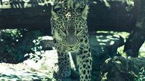 Gentle Panther von jb1er