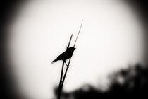 Blackbird2-copy