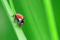 Ladybug by Didier Kobi