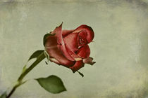 Rose von Martin Kretschmar