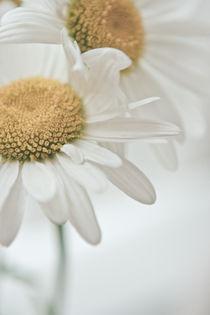 daisies by Stella Melnichenko