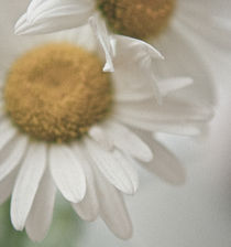 daisy by Stella Melnichenko