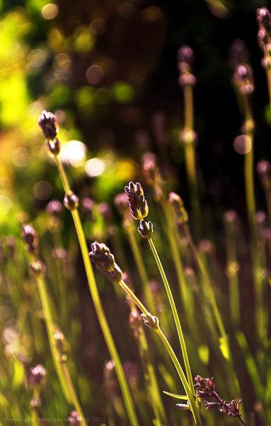 Lavender-copy