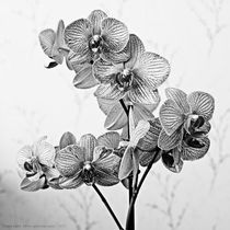 Orchids II by Sarah Spence