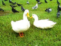2 White Ducks von Jenna Wylie