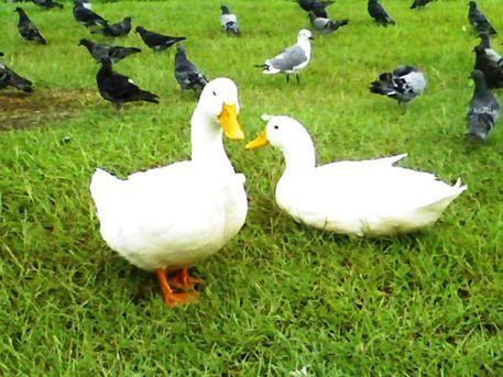 2-white-ducks