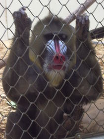 Baboon in the Zoo by Jenna Wylie