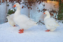 Snow Geese by Steven Stoddart