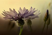 Kornblumen von Ingrid Clement-Grimmer