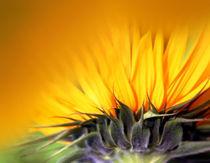 Sonnenblume von Ingrid Clement-Grimmer