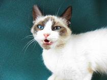 Weiße Katze by pahit