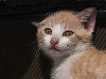 Junge Katze by pahit