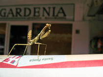 Little-mantis-lost-in-town-2