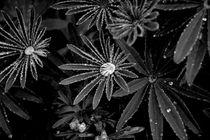 Fleur Noire von Stein Liland