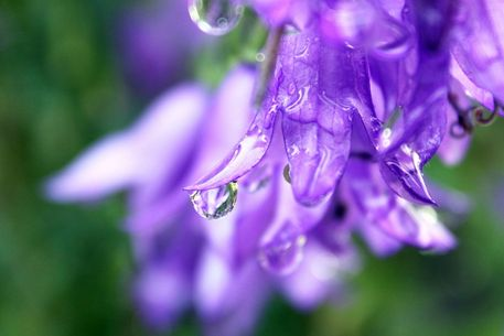 Purple-dew-drop