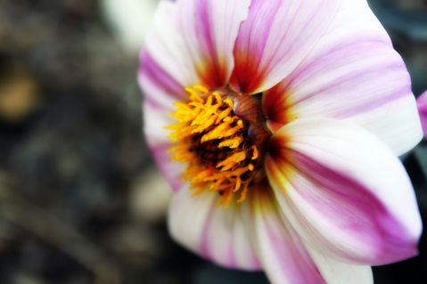 Stripey-flower