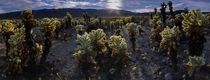 Cholla Cactus Gardens by Robert Oelman