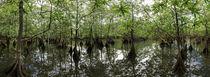 Mangrove Swamp von Robert Oelman