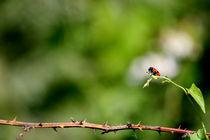 Ladybug by Alex Beldea
