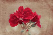 Pelargonium by Beatrice Amberg