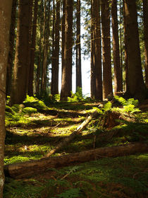 Austrian trees / forrest with sunlight by Sarah Clark
